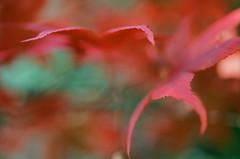Red Maple (Martin Smith - Having the Time of my Life) Tags: redmaple 35mmfilm film filmcamera filmgrain filmisnotdead manualfilmcamera shallowdepthoffield bokeh bokehlicious macro nikonfe2 nikkor55mmf28micro martinsmith ©martinsmith fujicoloursuperiaxtra400 fujifilmfujicolorsuperiaxtra400 asa400 straightfromscanningcd blur