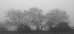 Three's a Crowd (hall1705) Tags: threesacrowd treeinthemist tree three blackwhite mist middletononsea mistymorning mono westsussex d3200 earlymorningmist morning nature outdoor