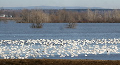 Snow Geese (Peter Simpson) Tags: snowgeese flooded area eastern ontario canon f4