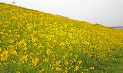 菜の花の丘 (SHUN.ANDANTE) Tags: 菜の花 flower outdoor