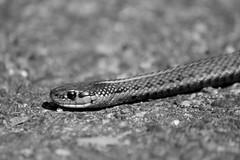 IMG_6569 (TMM Cotter) Tags: northwestern garter snake thamnophis ordinoides victoria bc