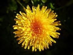 Yellow flower --- Like Sun (MSamir63) Tags: flowers flores fleurs beautiful beautyofnature superb sun snapseed lumix panasonic fz200 nature yellow jaune hdwallpapers