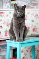 IMG_5256 (murkla_la) Tags: cat graycat gray russianblue moussie