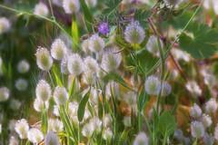 ... (Theophilos) Tags: wildflower spring nature rethymno crete αγριολούλουδο φύση άνοιξη ρέθυμνο κρήτη