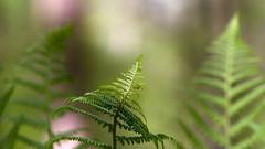 (Vitatrix) Tags: farn pflanze wald natur nature outdoor bokeh badenwürttemberg