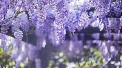 Easter is meant to be a symbol of hope, renewal, and new life. Janine di Giovanni (serena zambelli) Tags: wisteria glicine purple viola lilla lille bokeh easter pasqua spring primavera tree ramo branch hope renewal newlife