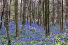 The Blue Forest - Hallerbos (Jan Hoogendoorn) Tags: belgie belgium halle hallerbos bos forest hetblauwebos theblueforest bluebells hyacinten