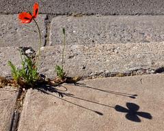 My neighborhood in Albuquerque with iPhone.  New Mexico, USA. (cbrozek21) Tags: flower poppy orientalpoppy urbannature albuquerque iphone red mak shadow