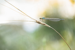 _DSF9097 (Evren Unal Photography) Tags: dragonfly fly bug bugs insect insects sun sunset sunlight macro closeup fujifilm carlzeiss zeiss red bokeh deep 50mm art nature artnature ngc touit2850m depth field animal outdoor