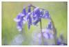 Bluebells (leo.roos) Tags: hyacinthoidesnonscripta bluebell wildehyacint hyacintenbos hetzuidhollandslandschap denhaag thehague rossprojectionlens4375inch a7rii day112 dayprime dayprime2017 dyxum challenge prime primes lens lenzen brandpuntsafstand focallength fl darosa leoroos