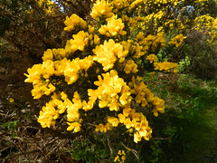 Gorse Bush, Ord Hill, Black Isle, Easter Saturday 2017 (allanmaciver) Tags: gorse yellow bright cheery smell coconut black isle ord hill walk easter