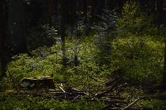 Märchenwald (Nikonfotografie) Tags: forest sonne niedersachsen nikonlove nikon meinnorden inexplore landschaftsfotografie landscapephotography landscape landschaft natur nature naturfotographie naturephotography lichterglanz lichtundschatten märchenhaft trees tree bäume wald