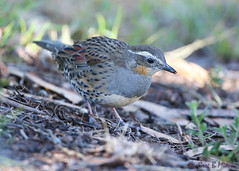 Spotted Quail-thrush- female (Greg Miles) Tags: spottedquailthrush cinclosomapunctatum yengonationalpark newsouthwales australia