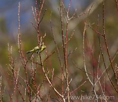 "Orange-crowned Warbler • <a style=""font-size:0.8em;"" href=""http://www.flickr.com/photos/63501323@N07/13894929980/"" target=""_blank"">View on Flickr</a>"
