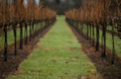 Dreamy Vision (Heather Smith Photography) Tags: abstract washington vines focus perspective winery blended grapevines woodinville chateaustemichellewinery