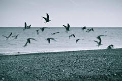 Take Flight 2/3 (rickyshitpants) Tags: sunset sky people abstract texture monochrome holga sundown seagull horizon flight shingle minimal line balance flotsam thirds gorse rickyshitpants