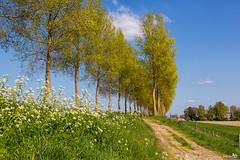 Spring trees and country road (BraCom (Bram)) Tags: trees cloud holland canon fence spring bomen nederland thenetherlands dijk lente dike countryroad hek cowparsley wolk goereeoverflakkee fluitekruid landweg southholland canonef24105mm nieuwetonge bracom canoneos5dmkiii