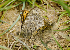 Wall Brown Butterfly - Mating (muppet1970) Tags: butterfly suffolk butterflies mating wallbrown