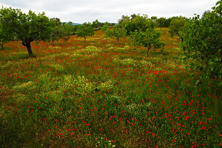 Field with Poppies, Mallorca