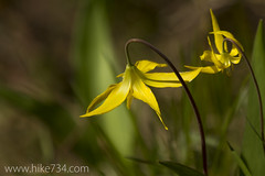 "Glacier Lily • <a style=""font-size:0.8em;"" href=""http://www.flickr.com/photos/63501323@N07/14058713650/"" target=""_blank"">View on Flickr</a>"