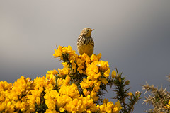 Meadow Pipit (jon lees [FRE]) Tags: bird nature singing feeding father feathers mother reserve britishwildlife hedgerow foraging murlough anthuspratensis passeridae ipsv0495 ipsv0497 ipsv0833 ipsv0864 ipsv1711 ipsv2547 ipsv2643 ipsv2741 ipsv2764