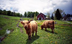 Highland Cattle (neilsonabeel) Tags: film 35mm cow lomo lca lomography vermont cattle kodak highland analogue waitsfield