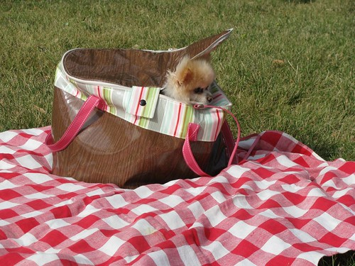 Pomeranian in a picnic basket