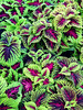 """Coleus • <a style=""""font-size:0.8em;"""" href=""""http://www.flickr.com/photos/101656099@N05/14134569924/"""" target=""""_blank"""">View on Flickr</a>"""