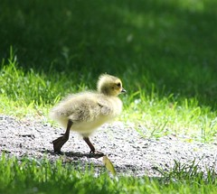 Gosling, trying to catch up with Mom & Dad (Pauline Brock) Tags: spring goose gosling babygoose