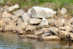 Spotted Sandpiper (Actitis macularius ) (J.J.Folk Photography) Tags: farmers kentucky spottedsandpiper actitismacularius minoreclarkfishhatchery kdfwr