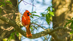Paint me in the tree ... (Ken Krach Photography) Tags: cardinal baltimore
