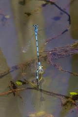 Azure damselfly tandem pair. (mikepickwellwildimages) Tags: azure lincolnshire damselfly rimac saltfleetby