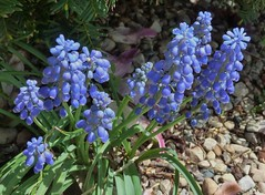 Wheaton, IL, Blue Grape Hyacinth Flowers (Mary Warren 11.4+ Million Views) Tags: flowers blue nature spring flora blossoms blooms hyacinth abigfave wheatonil citrit