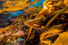 kelpfish2March16-14 (divindk) Tags: ocean sea fish santabarbara marine underwater teeth kelp camouflage ventura channelislands anacapa santacruzisland kelpforest underwaterphotography channelislandsnationalpark anacapaisland santarosaisland sanmiguelisland kelpfish californiaunderwater californiascubadiving giantkelpfish diverdoug heterostichusrostratus