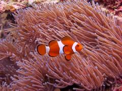 Nemo Miss his daddy (qeenas) Tags: fish marine nemo anemone tioman
