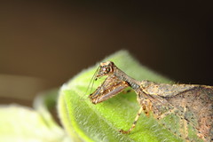 Mantisfly head_Htamanthi_new species (Scrubmuncher) Tags: