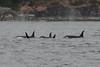 Orcas J Pod 3 (mobybick2) Tags: wild whales orcas killerwhales sanjuanisland jpod