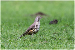 Song Thrush (Explored 6/6/2014) (Smudge 9000) Tags: summer zoo howletts 2014 songthrush
