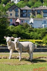 From the edge of the grass, May 2012 - 25aa.jpg (Nick Thorne, Bodian Photography) Tags: england people fauna buildings sheep year places estuary prom cumbria sands 2012 grangeoversands morecambebay townbuilding geographicalfeatures