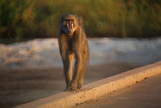 Some thoughts on Baboons