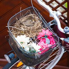 Cozy apartment (*Jonina*) Tags: birds iceland nest 500views ísland redwing hreiður fuglar turdusiliacus 1500views 25faves skógarþröstur fáskrúðsfjörður faskrudsfjordur jónínaguðrúnóskarsdóttir