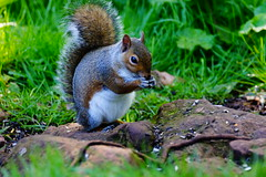 Grey Squirrel (Rovers number 9) Tags: england june sony lancashire a77 2014 rspbleightonmoss sonya77 june2014