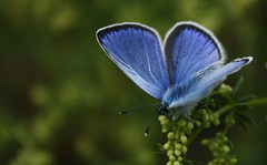 papillon217