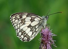 Marbled White - Melanargia galathea (erdragonfly) Tags: melanargiagalathea