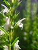 Bergbohnenkraut (Jörg Paul Kaspari) Tags: white flower fleur montana sommer blüte herb kraut kräuter 2014 satureja weis wiltingen saturejamontana bergbohnenkraut