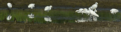 The Hunt (Randy E. Crisp) Tags: canon texas hummingbird cardinal blackneckedstilt 14 bluejay turkeyvultures irving 20 crows easternphoebe greatblueheron greategret snowyegret hogs mallards redtailedhawk coopershawk 400mm littleblueheron scissortail lesseryellowlegs greenheron westernkingbird easternkingbird blackbelliedwhistlingducks dickcissels 560mm villagecreekdryingbeds malekestrel vcdb 1dmkiv 1dmk4 randyecrispphotography randycrisp randyecrisp