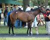 OBS June Sale '14 (Shazstock) Tags: horse black dark grey bay mare florida sale farm gray racing chestnut stable colt stallion thoroughbred equine roan ocala filly sorrel breeder gelding