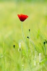 Poppy (Tim Melling) Tags: west yorkshire poppy lower papaverrhoeas cumberworth timmelling