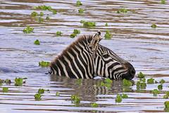 In at the deep end! (Rainbirder) Tags: kenya ngc npc maasaimara grantszebra plainszebra equusquaggaboehmi rainbirder