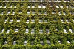 The Sylvia [Explored] (derekbruff) Tags: windows vancouver facade hotel vines sylviahotel